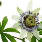 Passiflora incarnata – Maracujá – Insônia, ansiedade e irritabilidade